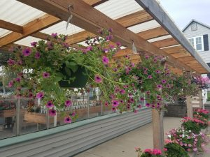 Hanging petunias Nicks Greenhouse
