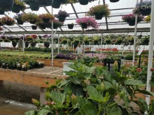 Hanging baskets Nicks Greenhouse