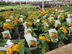Lantana and more Nicks Greenhouse
