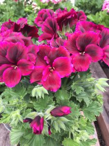 Geranium at Nicks Greenhouse