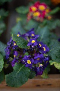 African violets Nicks Greenhouse