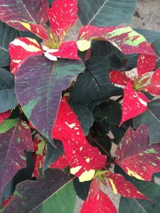Poinsettias at Nicks Greenhouse