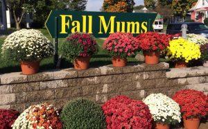 Fall mums Nicks Greenhouse