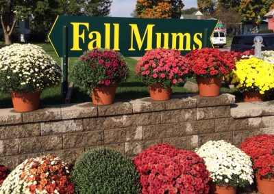 fall mums_nicksgreenhouse