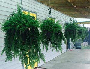 Ferns Nicks Greenhouse
