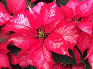 Frosted red poinsettia Nicks Greenhouse