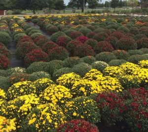 Hundreds of mums Nicks Greenhouse