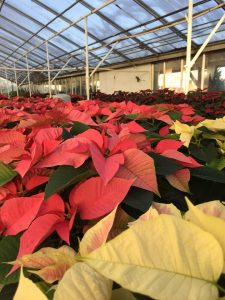 Colorful poinsettias Nicks Greenhouse