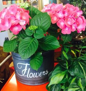 Hydrangeas in flower pot Nicks Greenhouse