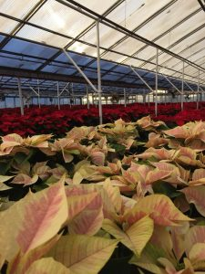 Poinsettias Nick's Greenhouse