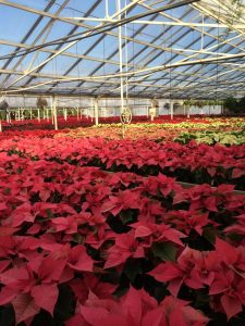 Plethora of poinsettias Nicks Greenhouse