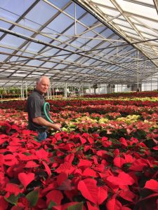 Nick watering poinsettias Nicks Greenhouse
