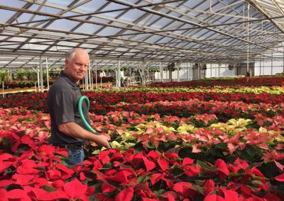 poinsettias galore_nicks greenhouse