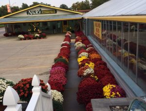 Rows of mums Nicks Greenhouse