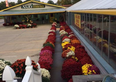 rows of fall mums_nicksgreenhouse