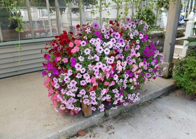 Amazing-petunia-pot